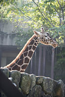 Giraffe Looking Over Everything