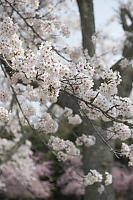 Cherry Blossoms At Full