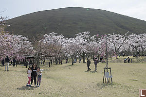 Cherry Blossoms Below Mt Omuro