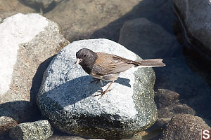 Dark Eyed Junco On Rock