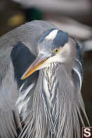 Great Blue Heron Face