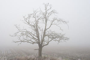 Lone Oak Tree With ACrow