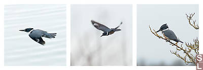 Belted_Kingfisher