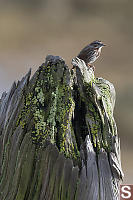 Song Sparrow On Snag