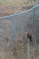Harrier On Fence Post