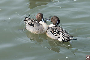 Two Pintails In Disagreement