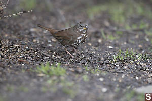 Fox Sparrow Foraging