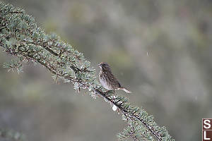 Song Sparrow On Evergreen Branch