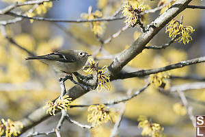 Ruby Crowned Kinglet With Flowers