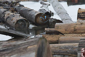 Mink On Log Boom