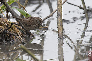 Song Sparrow At Waters Edge