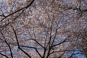 Looking up at the Cherry Blossoms