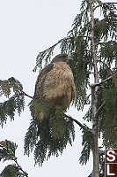 Hawk Puffed Up
