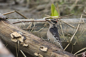 Male Downey Woodpecker