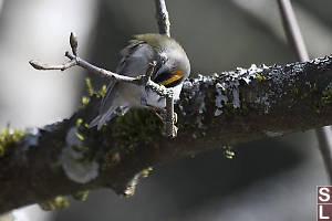 Golden Crowned Kinglet Cleaning