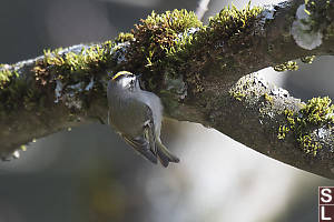 Golden Crowned Kinglet Searching Moss
