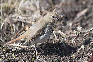 Hermit Thrush From Side