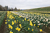 Rows Of Daffodils