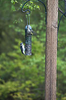 Downy Woodpecker And Pine Siskin