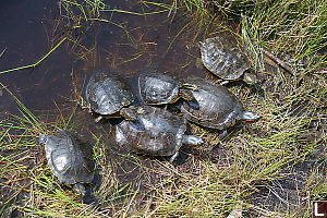 Family Of Red Eared Sliders
