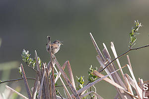 Marsh Wren On Top Of Cattails