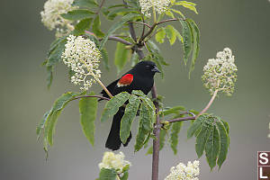 Red Wing Blackbird In Red Elderberry