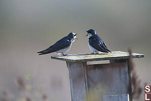 Two Tree Swallows On Nest Box