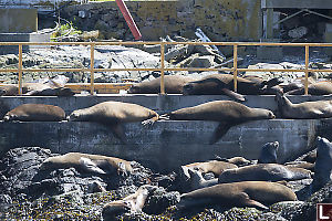 Sea Lions Resting On Ramp