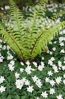 White Flowers With Fern