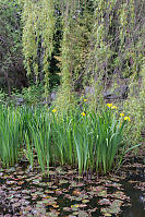 Pond With Iris And Willow
