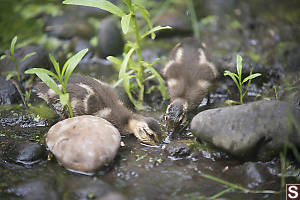 Baby Ducks Feeding In The Mud