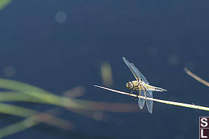 Four Spotted Skimmer On Reed