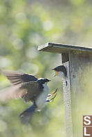 Tree Swallow Chick Begging For Food