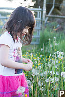 Claira Walking And Dandelions