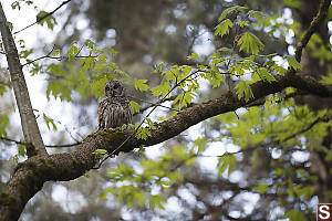 Barred Owl On Big Leaf Maple Limb