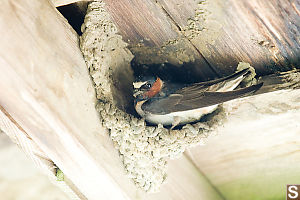 Cliff Swallow Sitting In More Full Nest