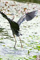 Heron Lifting Off