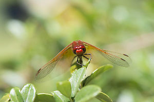 Looking Meadowhawk In The Eyes