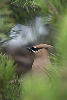 Cedar Waxwing In Front Of Nest