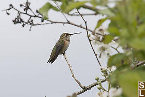 Female Rufous On Blackberry