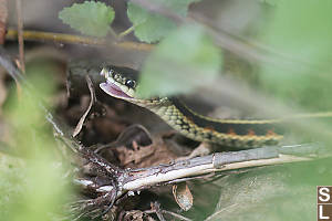 Garter Snake Mouth Open