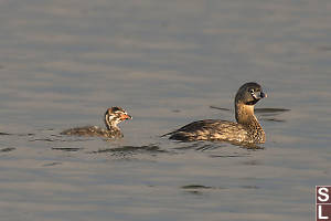 Pied Billed Grebe With Chick