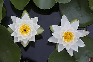 Pair Of Water Lilies