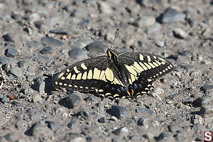 Anise Swallowtail On Walkway
