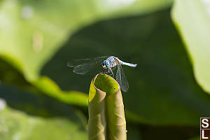 Blue Dasher On Rolled Up Pond Lilly