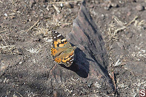 Painted Lady On Rock