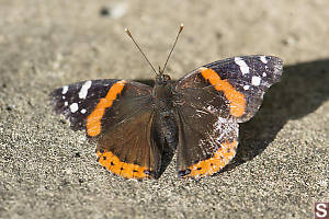 Red Admiral On Sidewalk
