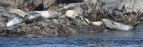 Harbour Seals On The Rocks