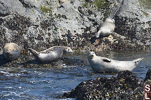 Harbour Seals Out Of The Water