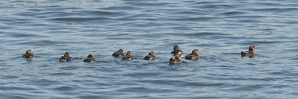 Rhinoceros Auklet Swimming Together